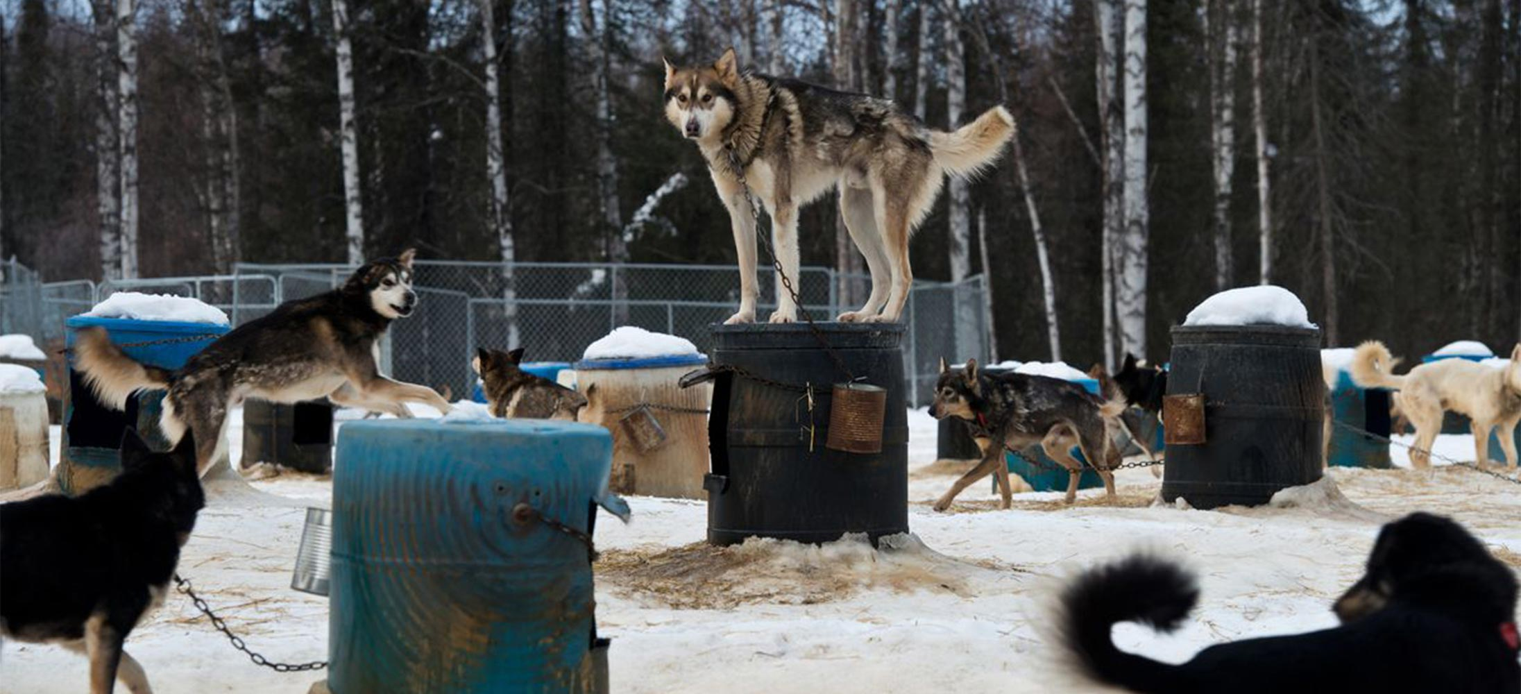 sled-dogs-banners